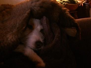 Marley_sleeping_with_sheep